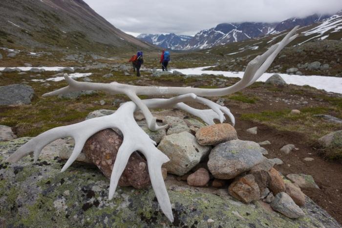 Caribou antlers at Jonas Pass