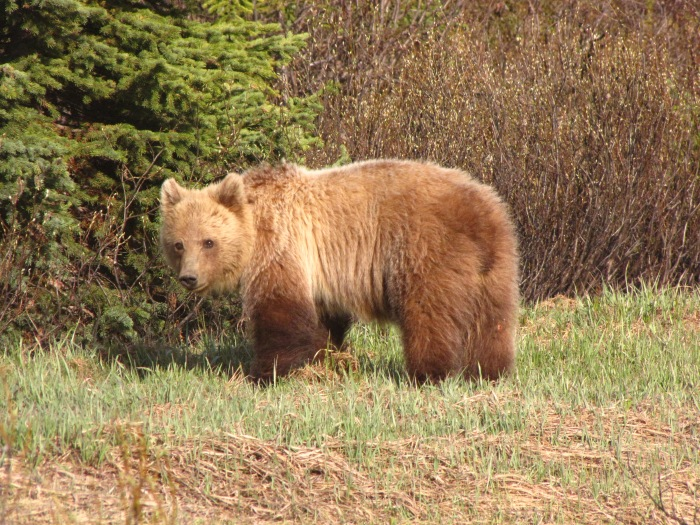 Grizzly Research in the Rockies