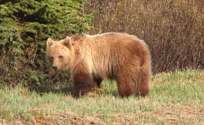Grizzly Research in theRockies