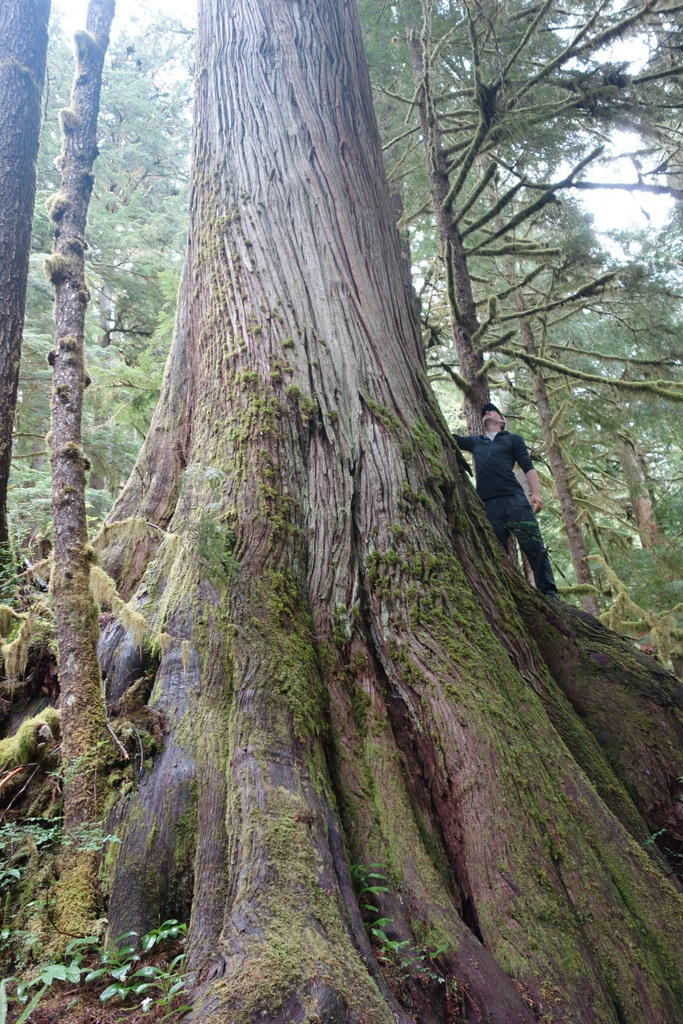 One of the few remaining old growth forest trees