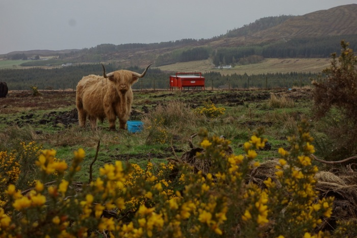 The famous Highland cow