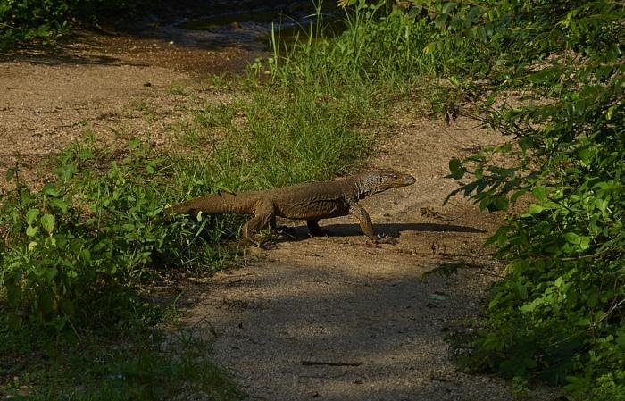 Land Monitor Lizard