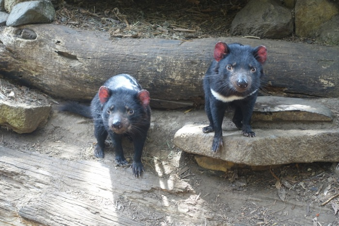 Two little Tasmanian Devils