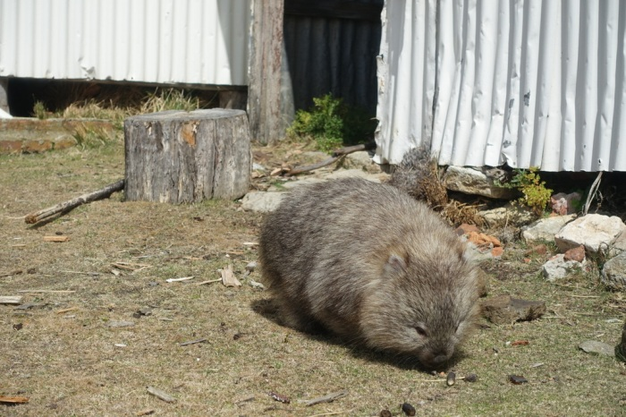 Fluffy wombat