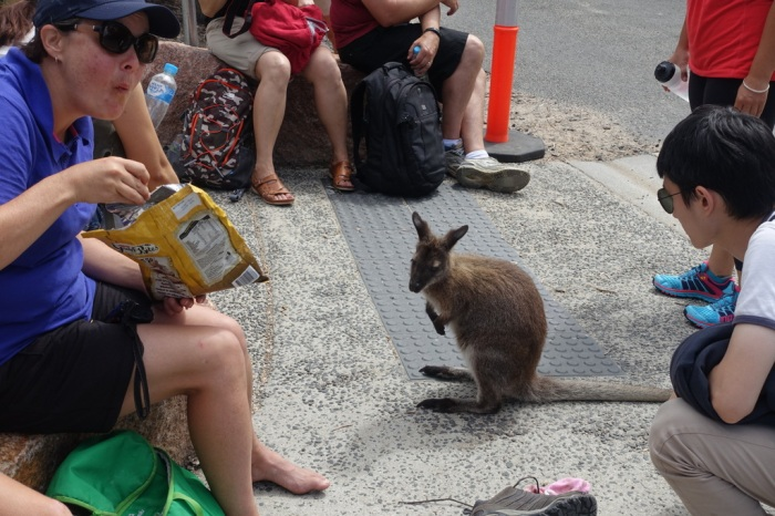 Rather tame wallaby