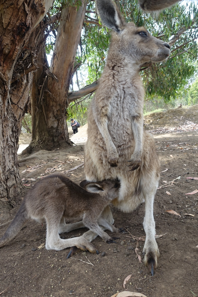 A mama kangaroo and her joey
