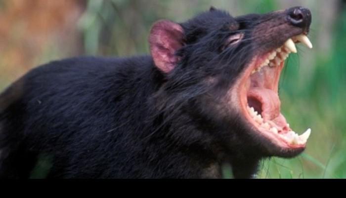 I found the TasmanianDevil!
