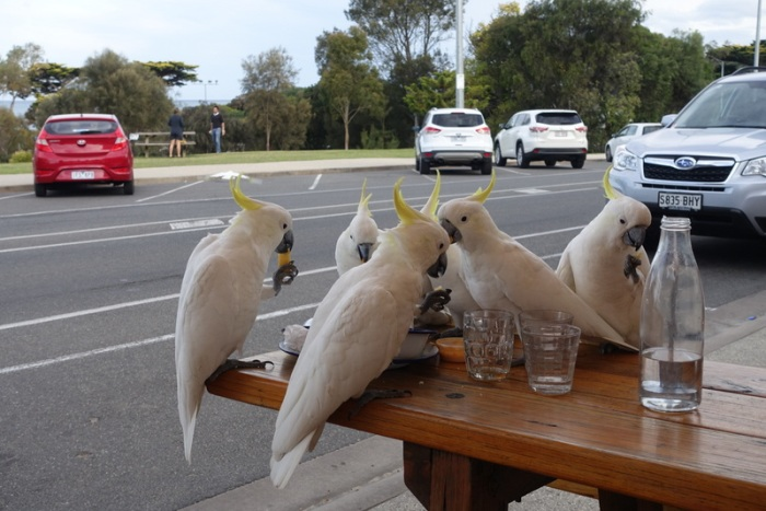 Cockatoos eating french fries