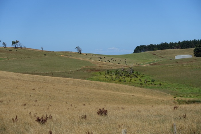 Rolling hills and hungry cows