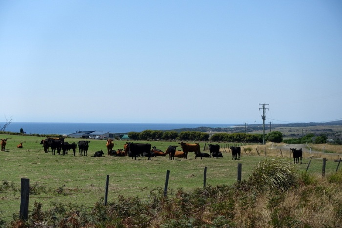 Cows and the Sea - Classic East Coast scenery