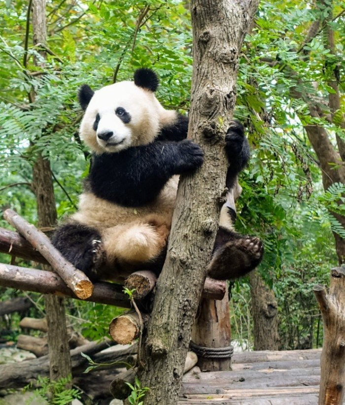 Chengdu China – Home of the Giant Panda